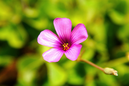 creeping woodsorrel: Oxalis corymbosa DC.  flower