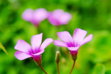 creeping woodsorrel: Oxalis corymbosa DC.  flower