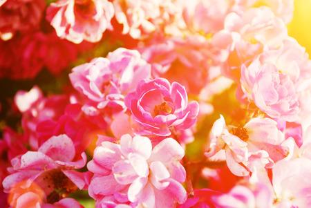flores chinas: De un hibisco rojo Flores chinas aumentaron