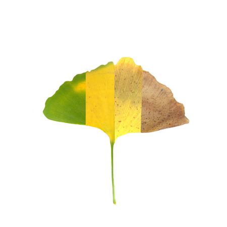 The ginko leaf withered from green to gray