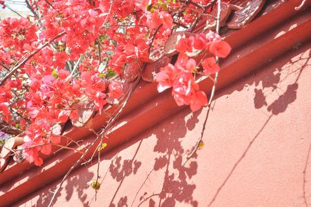 Bougainvillea spectabilis on the wall