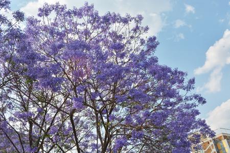 Jacaranda mimosifolia sub-tropical tree