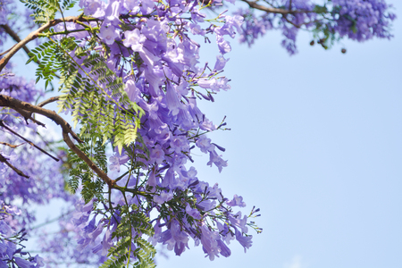 Jacaranda mimosifolia sub-tropical tree
