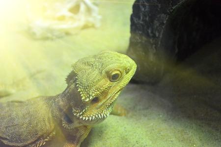 Bearded Dragon Pogona vitticeps