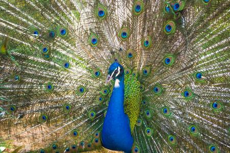 Blue peacock 版權商用圖片