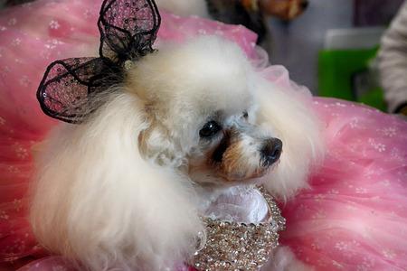 White Pomeranian dog in dress 版權商用圖片