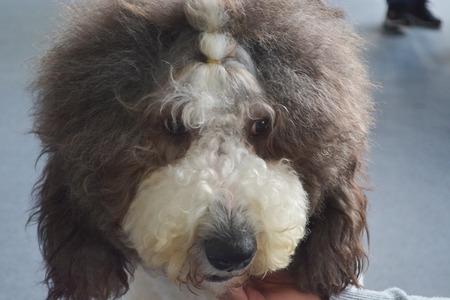 English old sheep dog 版權商用圖片