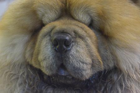 chow chow dog portrait 版權商用圖片