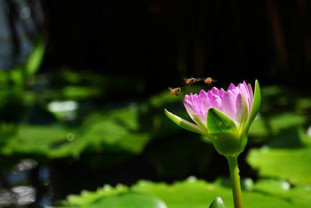 pink lotus: Pink lotus and bee