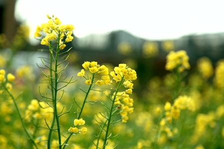 canola: rapeflower field Stock Photo