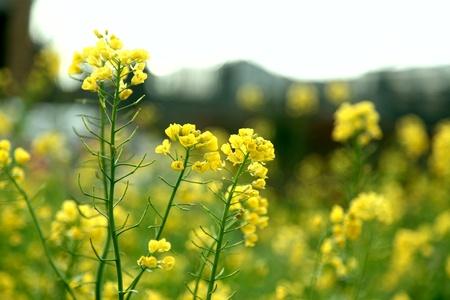 canola: rapeflower field Stock Photo