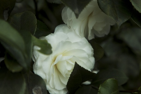 camellia: white camellia in spring Stock Photo
