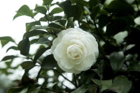 anther: white camellia in spring Stock Photo