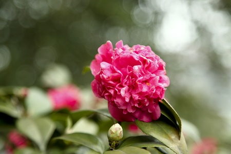 anther: camellia in spring