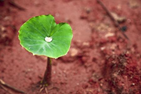 corme taro bourgeonnement au printemps