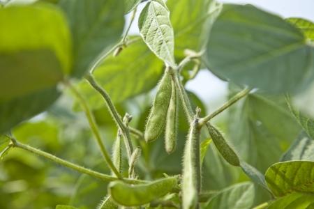 green soybean harvest photo