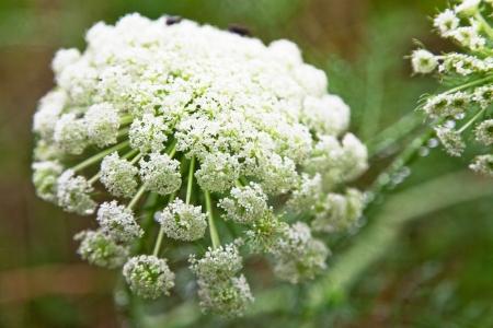 fleurs de carotte