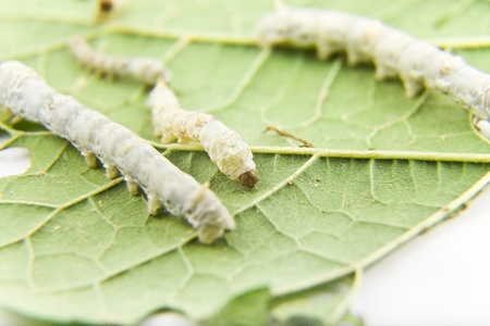 silkworm: silkworm feeding with mulberry leaf Stock Photo