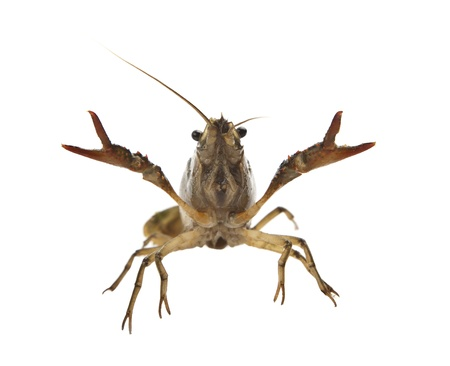 crayfish Stock Photo - 14197025