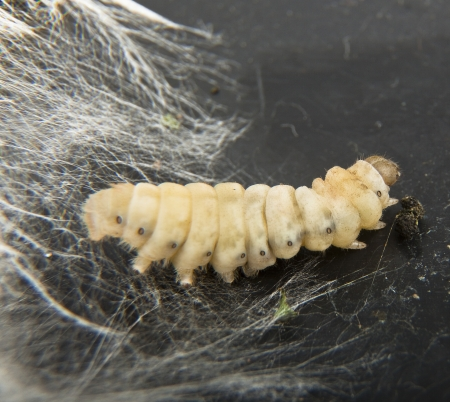 silkworm before chrysalis photo