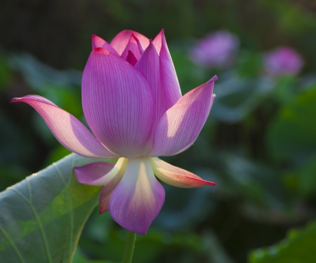 lotus flower bud before blooming photo