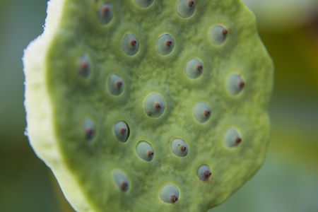 seedpod:   lotus flower seedpod