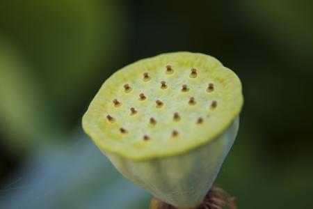 seedpod: young lotus flower seedpod