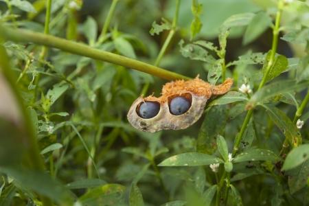 seedpod: lotus seedpod with seeds Stock Photo