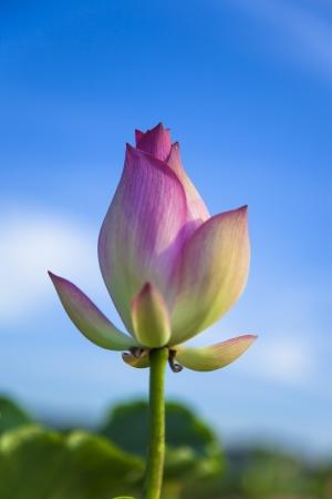 lotus flower bud under blue sky before blooming photo