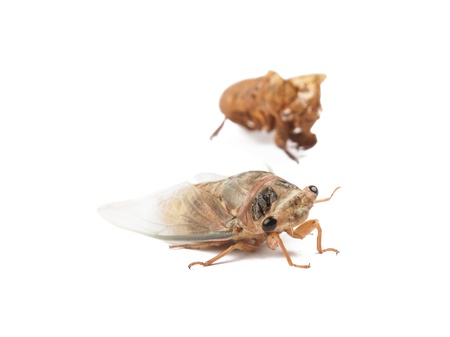 cicada bug: a new cicada just slough its skin with golden color
