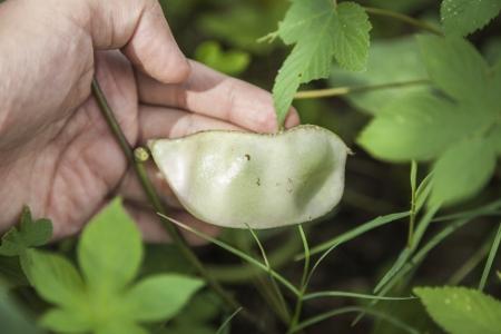 dolichos lablab: hyacinth bean  Stock Photo