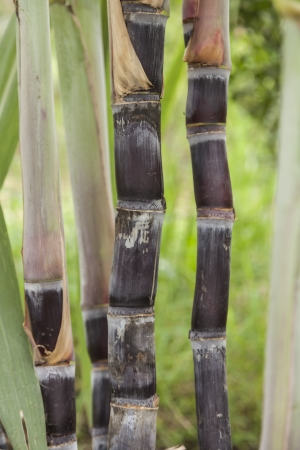sugarcane in farmland Stock Photo - 15142525