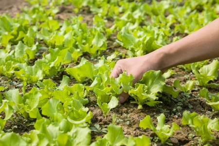 work with young lettuce in the field Stock Photo