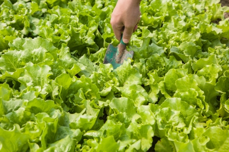 working in the lettuce field photo