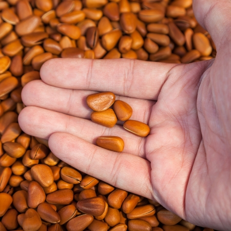 pine nuts: pine nuts in hand