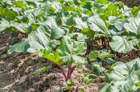 brassica:  Brassica campestris
