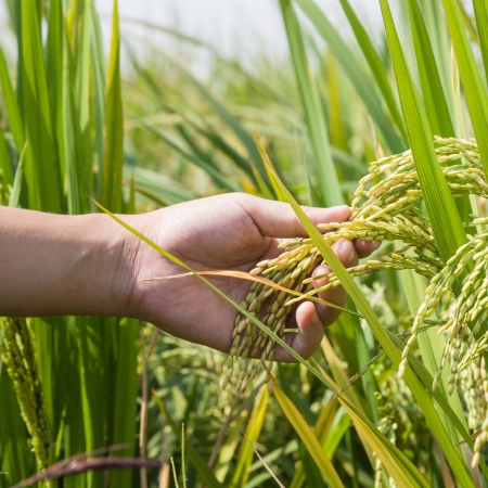 hand with ripe rice in autumn photo