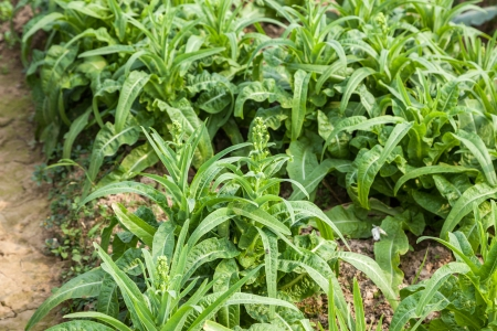 asparagus lettuce in the garden photo