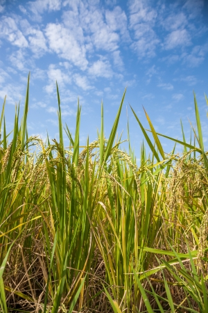ripe rice field under blue sky photo