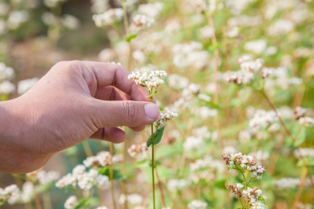 essentially: hand showing blooming buckwheat