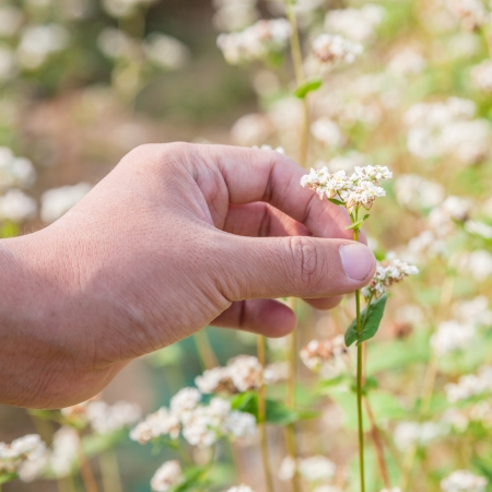 hand showing blooming buckwheat  Stock Photo - 16775225