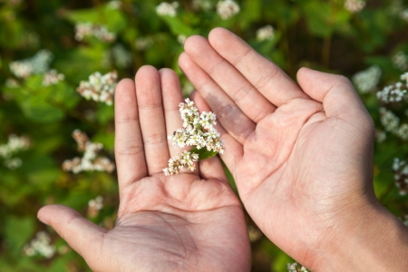 hand showing blooming buckwheat Stock Photo - 16775390