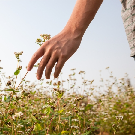 hand touch the buckwheat in the rural side photo