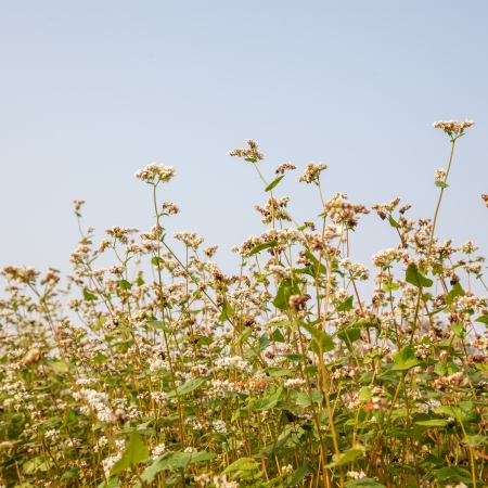 essentially: blooming buckwheat under blue sky in the fall