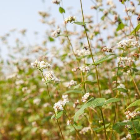 buckwheat in the fall under sun shine Stock Photo - 16775292