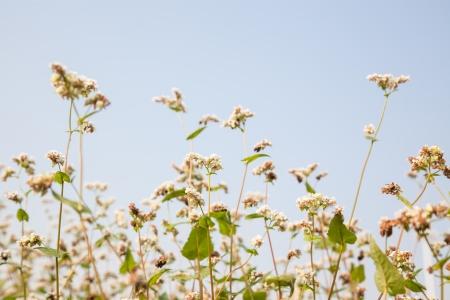 essentially: buckwheat in the fall under sun shine