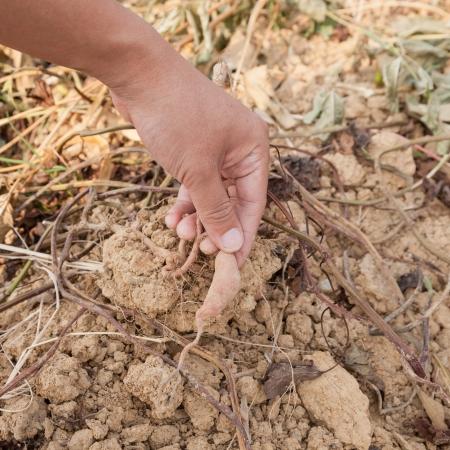 main montrant la racine de la patate douce sur la terre Banque d'images