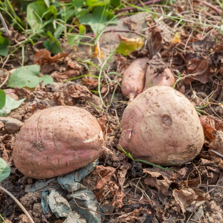 fresh sweet potatoes just dig out from the earth photo