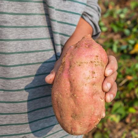 main montrant une patate douce, l'igname a �galement appel� � la terre,