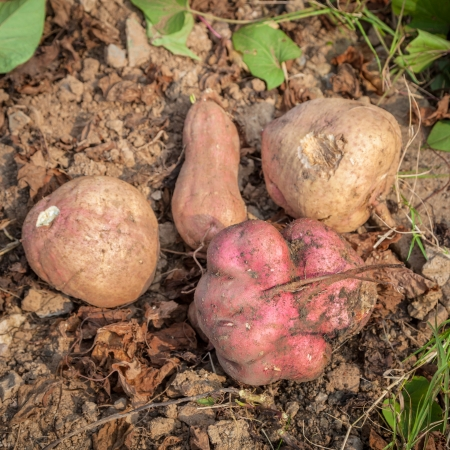 sweet potatoes in the garden, also called yam, a popular food in China photo